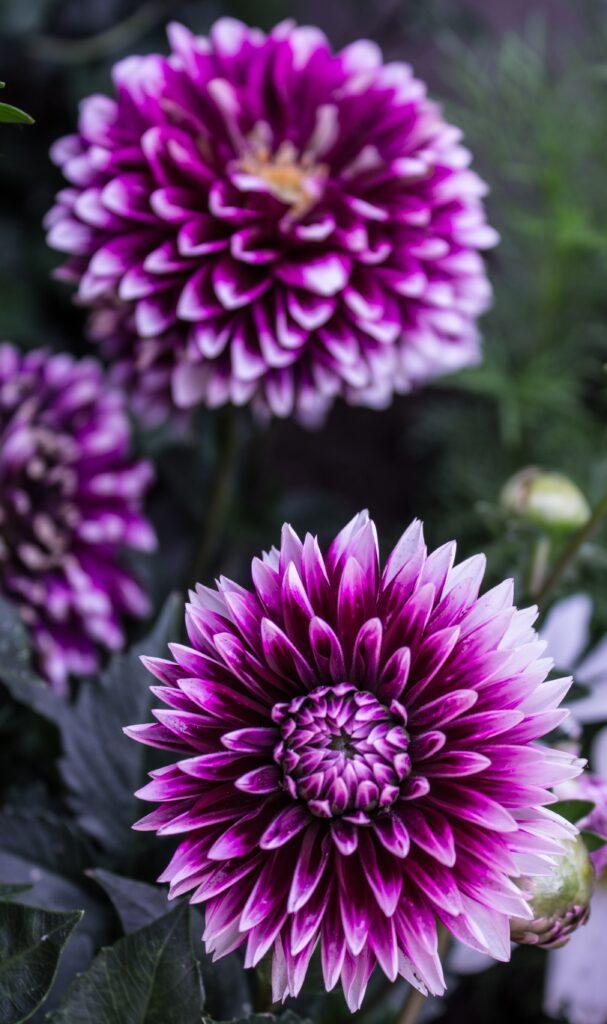 fiori al dettaglio - dalia